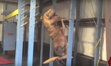 T-Rex Attempts American Ninja Warrior Training