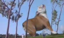 Wally The Jurassic Park Bulldog