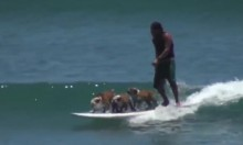 Three Bulldogs Ride Perfect Wave On One Surfboard