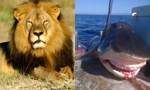 Dead Shark Vs Dead Lion - Who Is More Worthy Of OUTRAGE