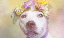 Pit Bulls With Flowers In Their Hair