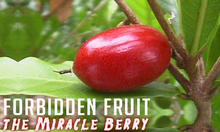 Forbidden Fruit - The Miracle Berry