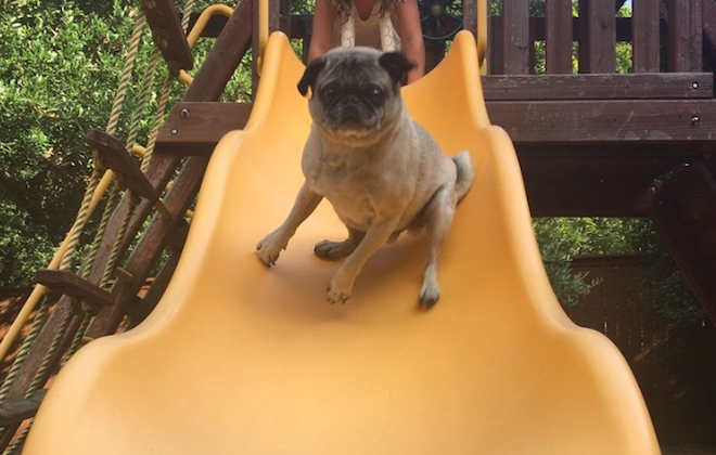 Pug Goes Down Slide: A Story In Four Parts