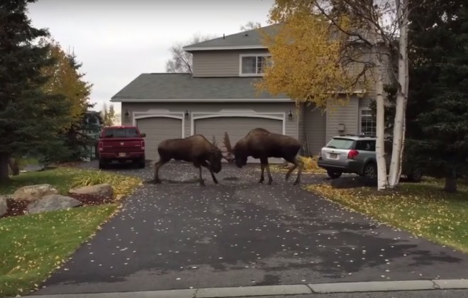 MOOSE STREET FIGHT!