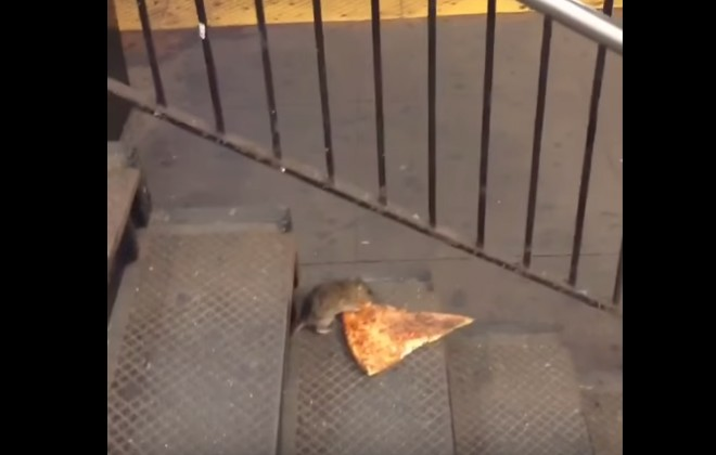 Pizza Rat Struggles With Large Slice Of Pizza