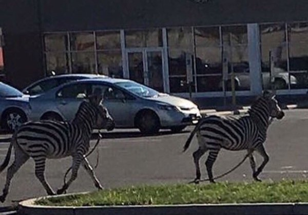 Zebras Roam The Streets Of Philadelphia