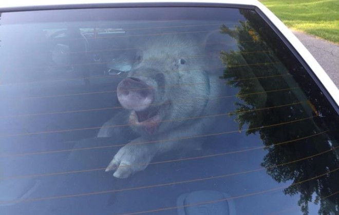 The Pig What Shit In A Police Car