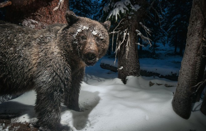 Surprising Grizzly Bears With Hidden Camera Traps