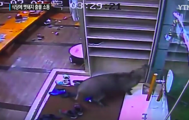 Wild Boar Lays Waste To Korean Restaurant