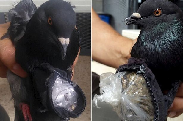 Lad Pigeon Caught Smuggling Cocaine Into Prison