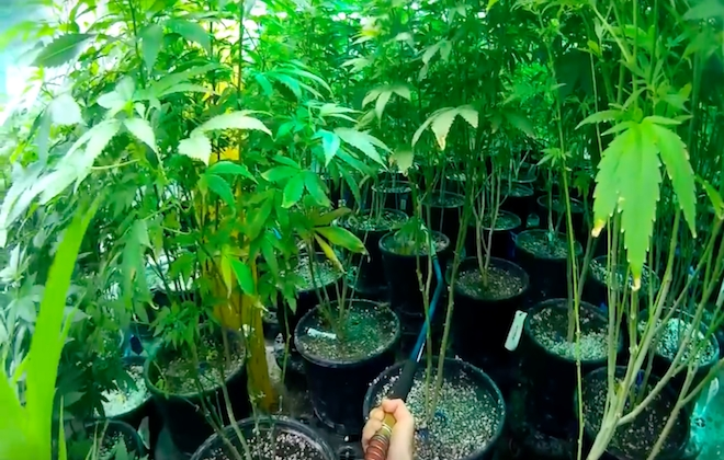 Touring A Cannabis Farm In First Person